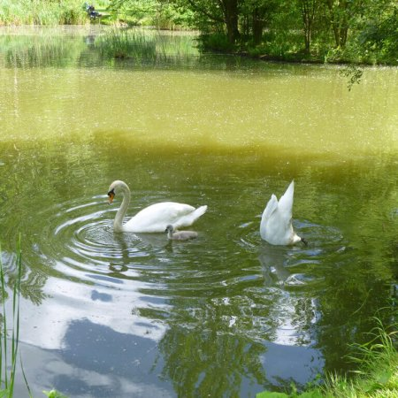 Swans, Gabriels Farm Camping and Carvanning Site in Kent